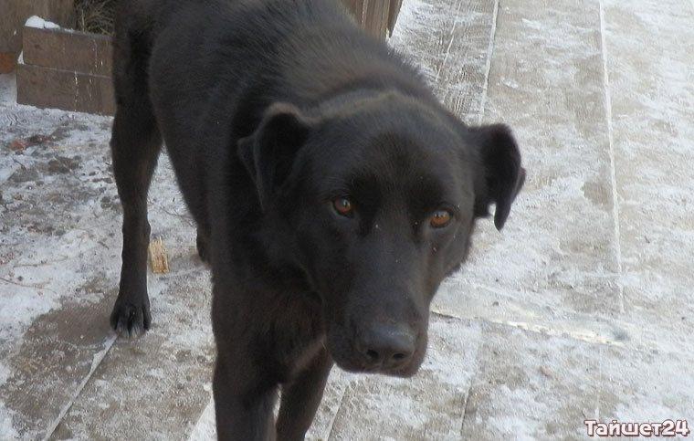 Вылавливать бродячих собак в Тайшете будет спецведомство
