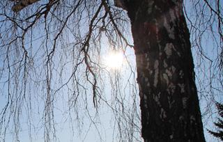 Администрация Тайшета заплатит 200 тысяч за спиливание 14 деревьев