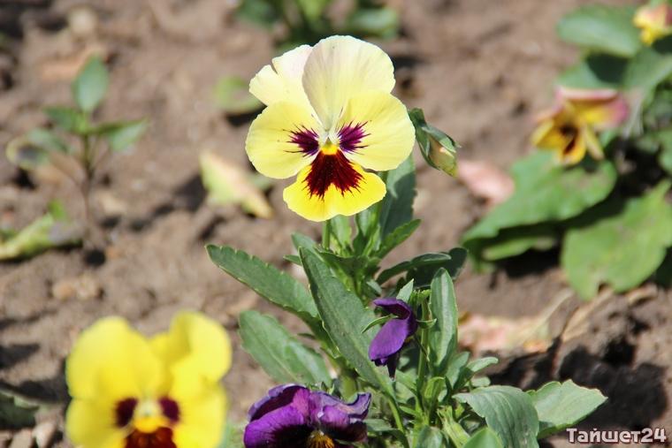 На тайшетские цветочки Заика выделил 500 000 рублей
