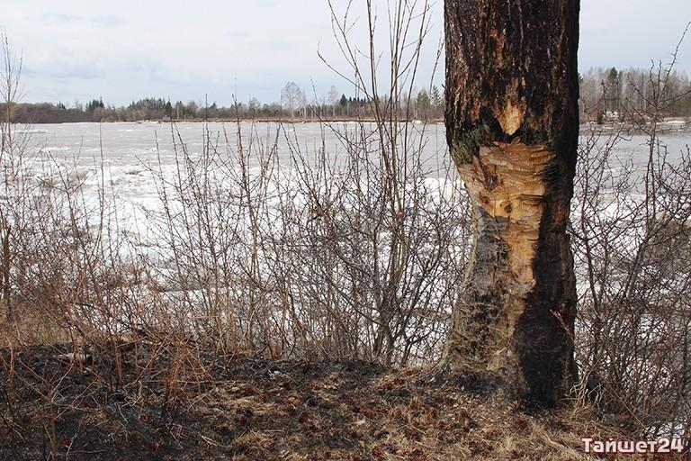 Гражданин Тайшета выплатил 500 тыс. руб. штрафа за нелегальную вырубку деревьев