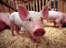 Африканская чума свиней. Памятка населению Тайшетского района