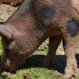 Чума не пройдёт: в Красноярском крае будет уничтожено около 1500 свиней