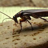 Популярную в Красноярске сеть столовых «Горожанин» оштрафовали за тараканов