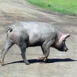 Из опубликованного. В Тайшетском районе строят свинокомплекс