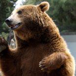 Из опубликованного. В Тайшете медведь чуть не съел работника цирка