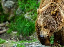 В Шелеховском районе медведь отгрыз руку посетителю кафе