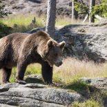 В центре Нижнеудинска медведь напал на школьника