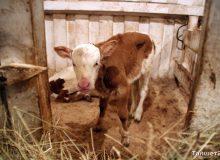 Квартиры, тракторы и коровы: что любят «продавать и покупать» мошенники
