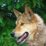 В Красноярском крае за откушенный собакой палец женщина отсудила 200 тысяч