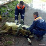 Догулялись. Бродячая корова попала в ловушку в Тайшете