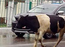 Фотофакт. В Тайшете коровы дефилируют по центральным улицам