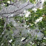 Горностаевая моль пожирает деревья в центре Тайшета