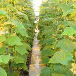 Душевный подход и плодотворная почва: тайшетцы радуются местным овощам